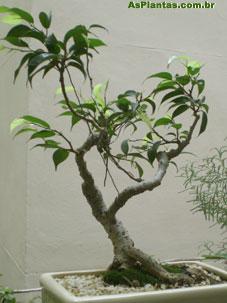 Bonsai cultivo de bonsai - Cultivo de bonsai ...