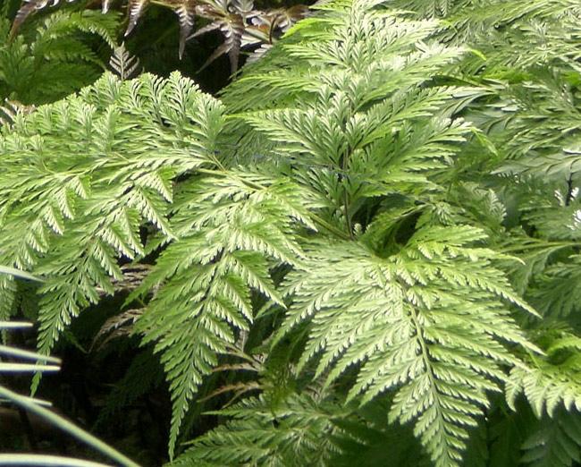 Fotos de plantas  Samambaia