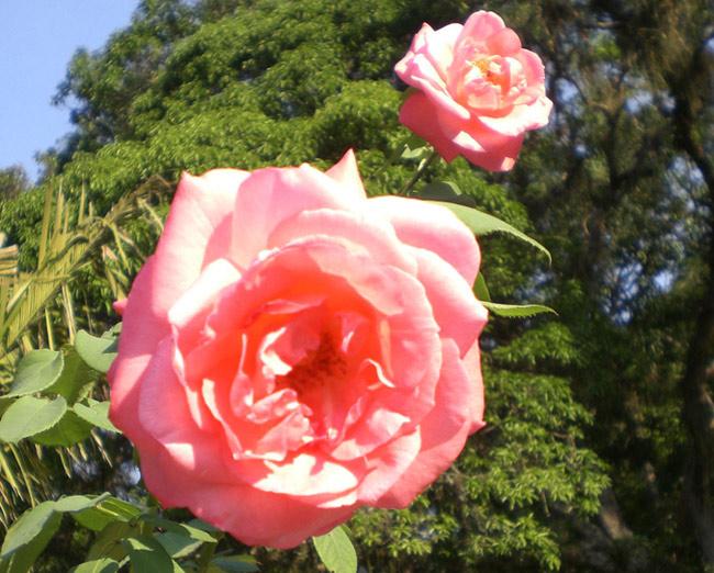 http://www.asplantas.com.br/fotos/rosas.jpg